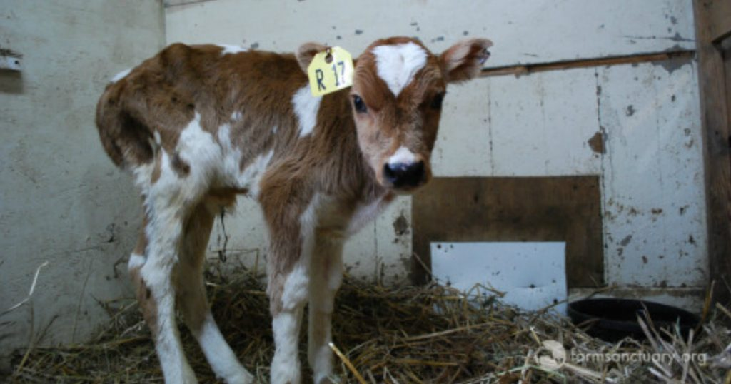godupdates neglected calf got mocked at auction then rescued 1