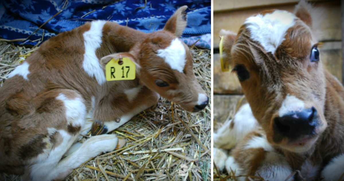 godupdates neglected calf got mocked at auction then rescued fb