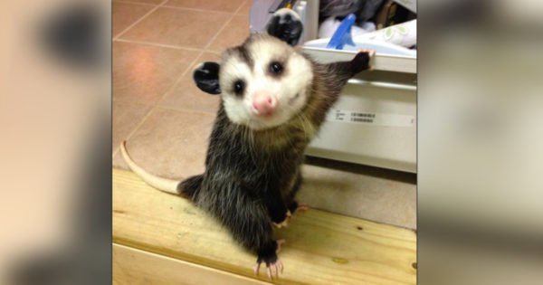 In Bizarre Rescue, Woman Lets Opossum Join The Family