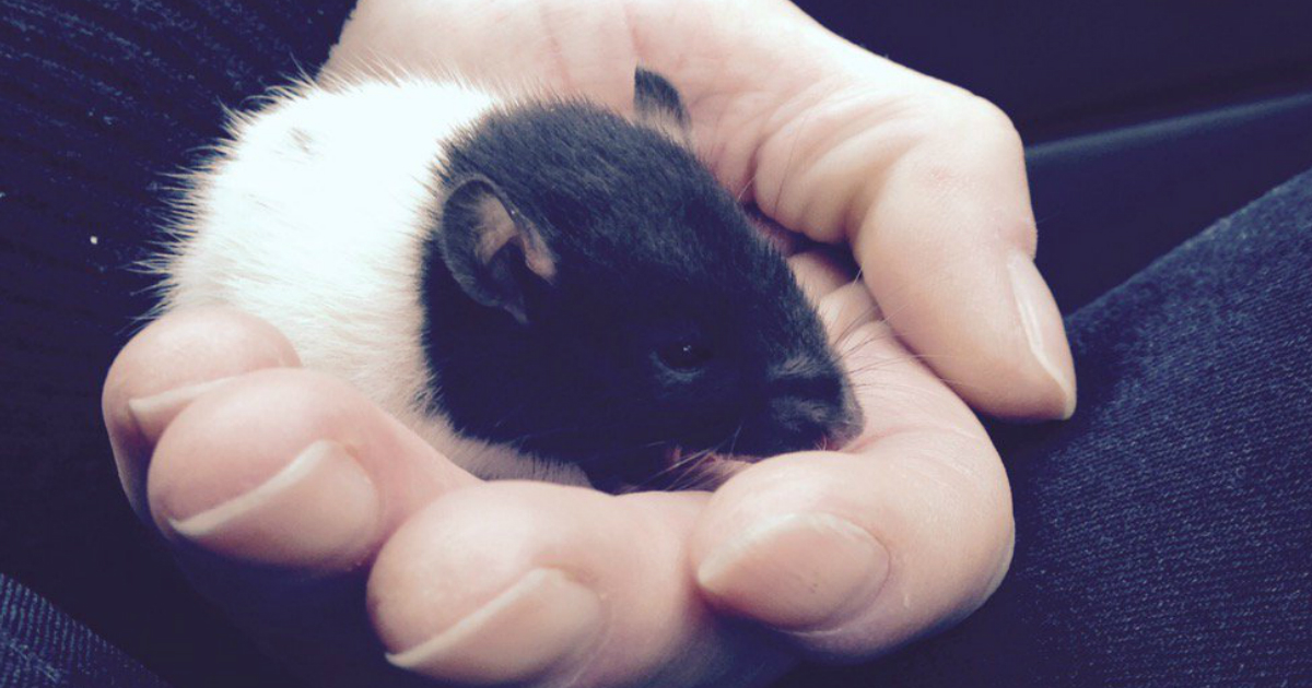 godupdates pet rat overdosed on heroin gets saved fb