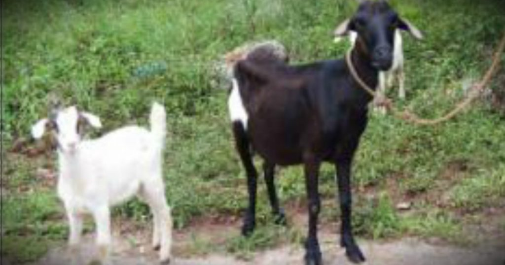 godupdates woman says god saved her goats from flood fb