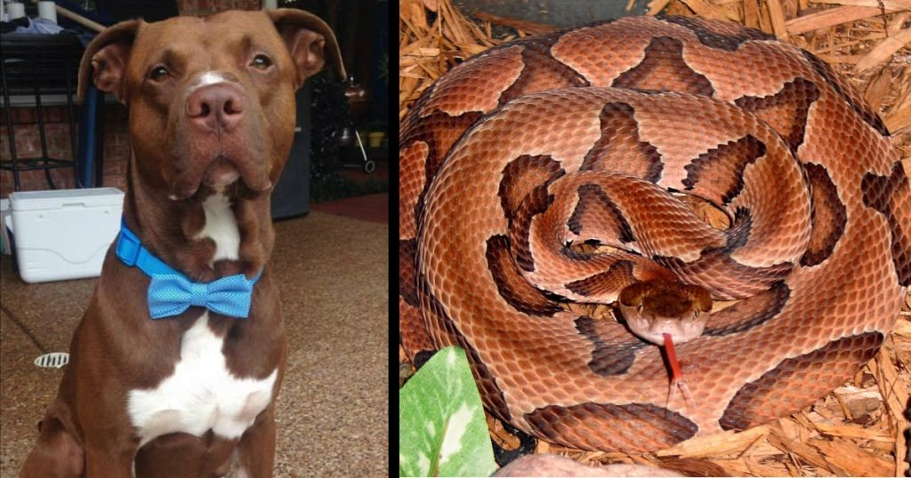 godupdates pit bull mix saved boy from copperhead snake bite fb