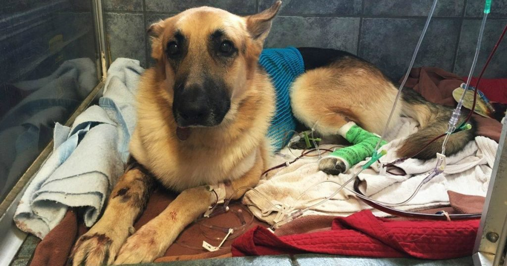 godupdates rescued german shepherd shielded 7-year-old from rattlesnake bite 1