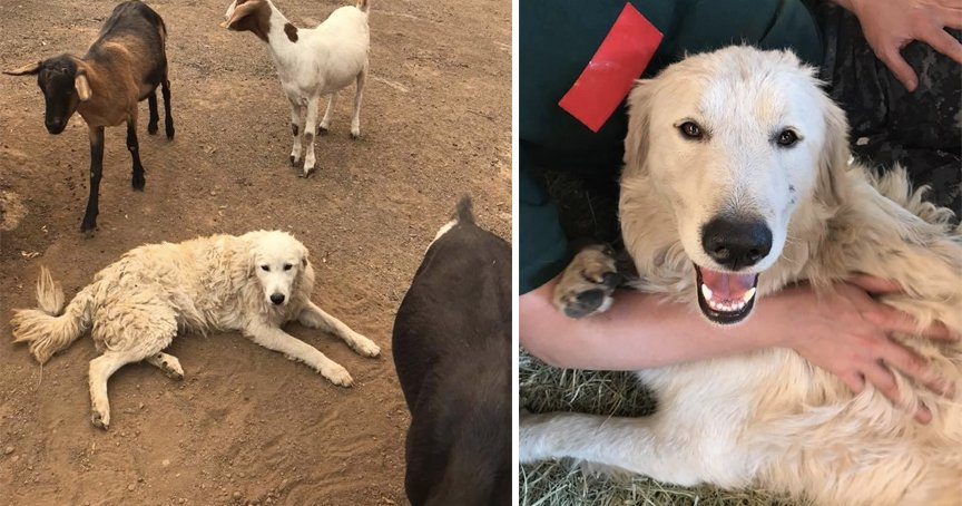California Fires Threatened Their Goat herd hero Dog Refused To Leave _ god updates