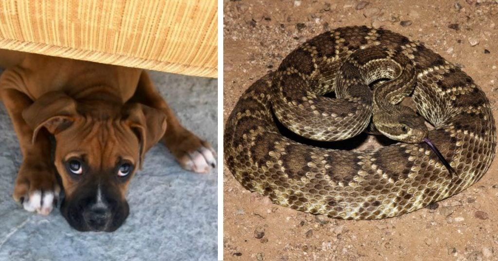 godupdates heroic boxer shielded family from mojave rattlesnake_FB