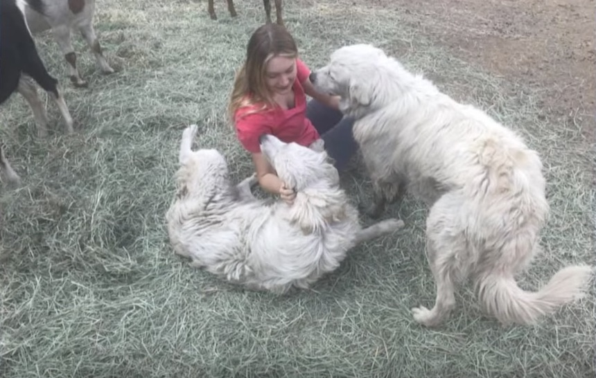 Odin The Dog Survives Wildfire And Saves Goats