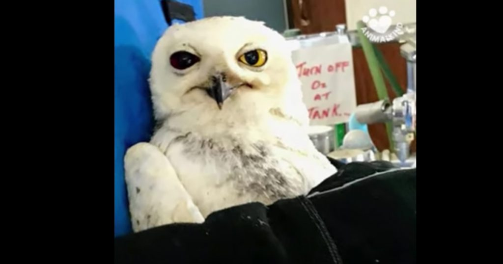 Owl Rescued After Being Hit By A Car