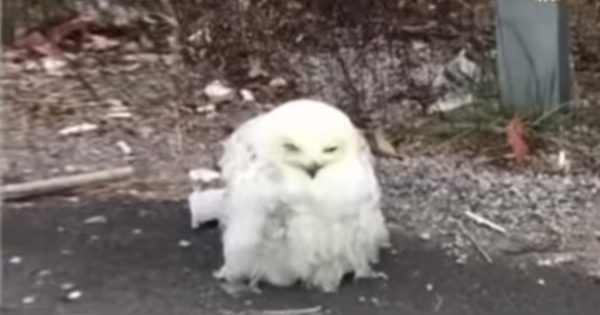 Owl Starving On The Side Of The Road Gets Rescue Just In Time