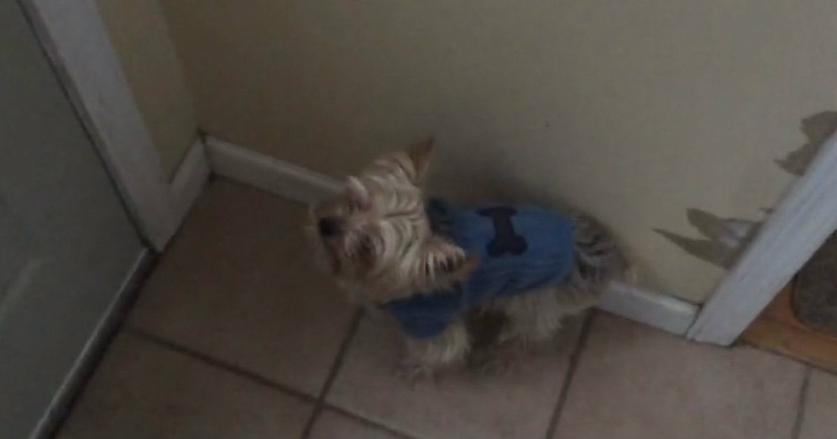 Adorable Yorkies First Snow Day Did Not Go As Planned