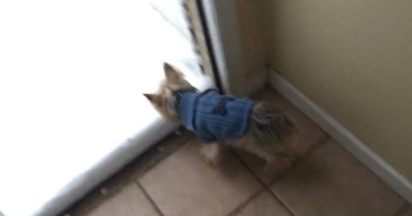 Hilarious Yorkie Has No Interest In Going Out Into The Snow