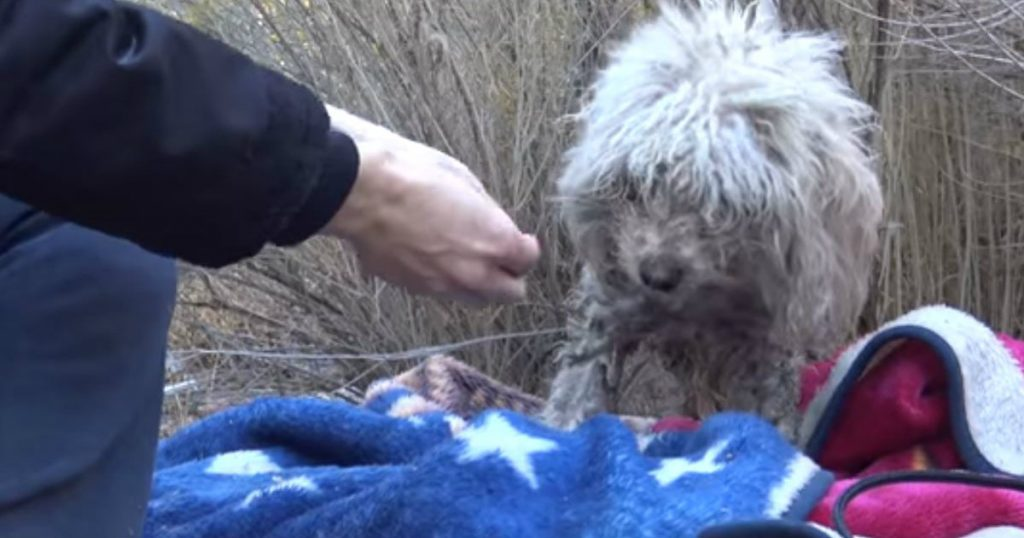 godupdates badly injured stray poodle