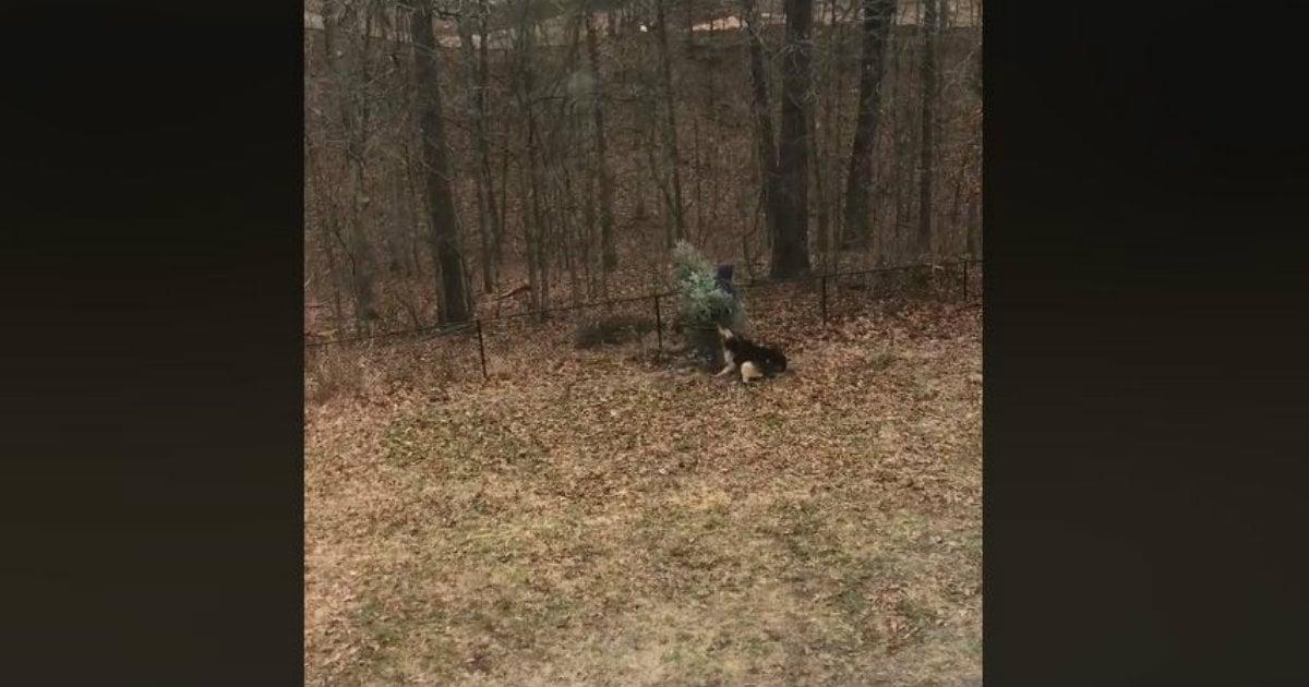godupdates Christmas tree dogfight
