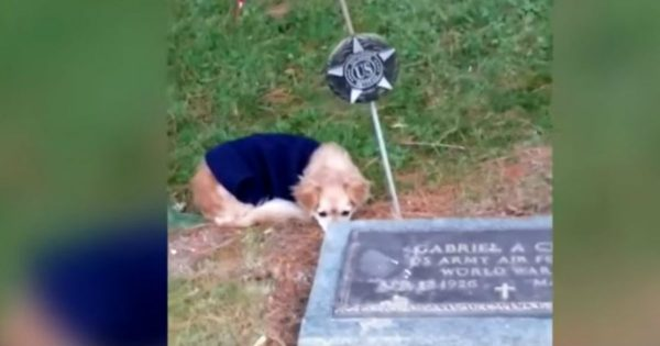 Loyal Chihuahua's Human Passed Away and She Won't Leave Her Gravesite