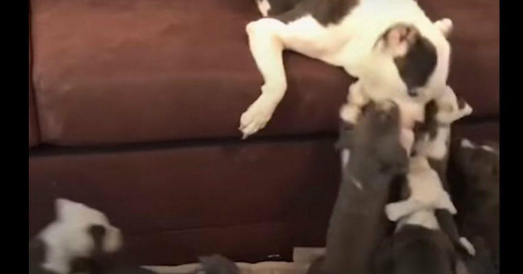 godupdates pregnant pit bull found