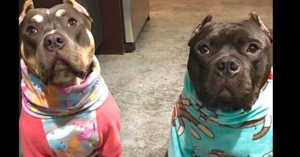 Unlovable Pitt Bull Was Afraid Until His Family Gave Him A New Best Friend