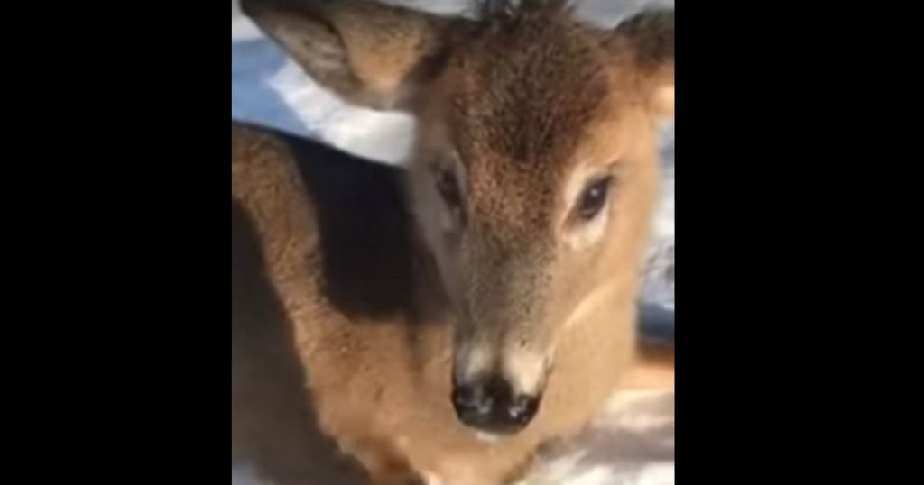 godupdates young deer stuck