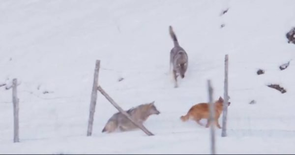 A Little Doggy Stood Up To The Wolves And Would Not Back Down