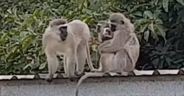 Monkey Returns Home To A Loving Welcome From His Mama