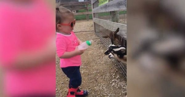 Toddler Shares Her Milk With The Baby Goat At A Petting Zoo