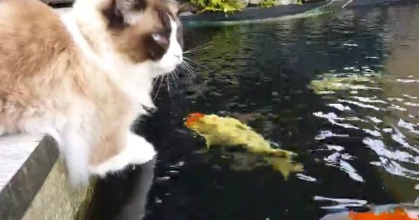 Fluffy Cat Becomes The Best Of Friends With Colorful Fish