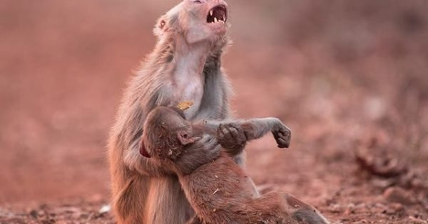 Emotional Photo of Mother Monkey Shows How Deeply Animals Feel