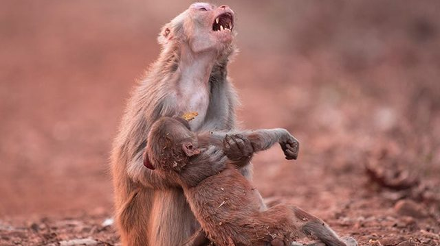 Mother Monkey Cries in Grief