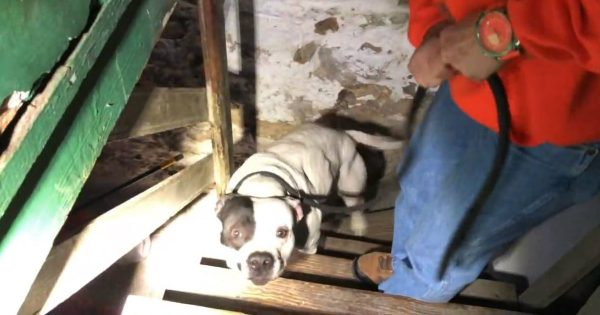 A Pit Bull Was Left In A Basement For A Long Time And Was Not Rescued Until Someone Purchased The Home