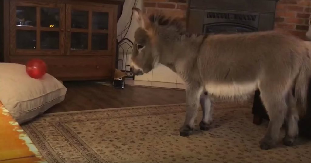 godupdates adorable tiny donkey