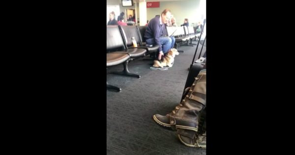 Corgi Senses Stranger in Airport is in Need and Goes to Him