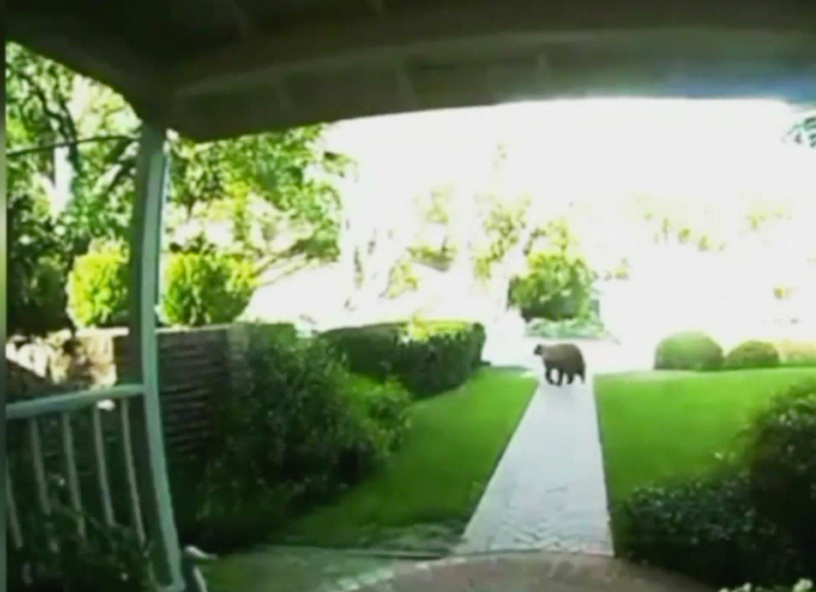 grandma saves toddler from bear