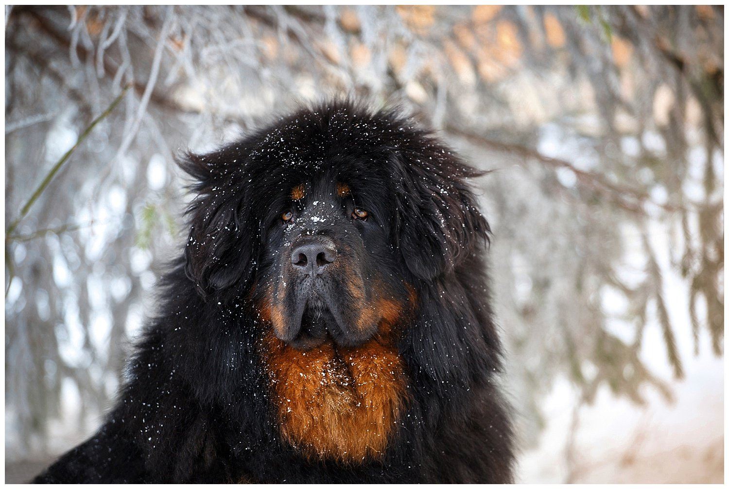 Asiatic Black Bear Mistaken for Pet Tibetan Mastiff Dog