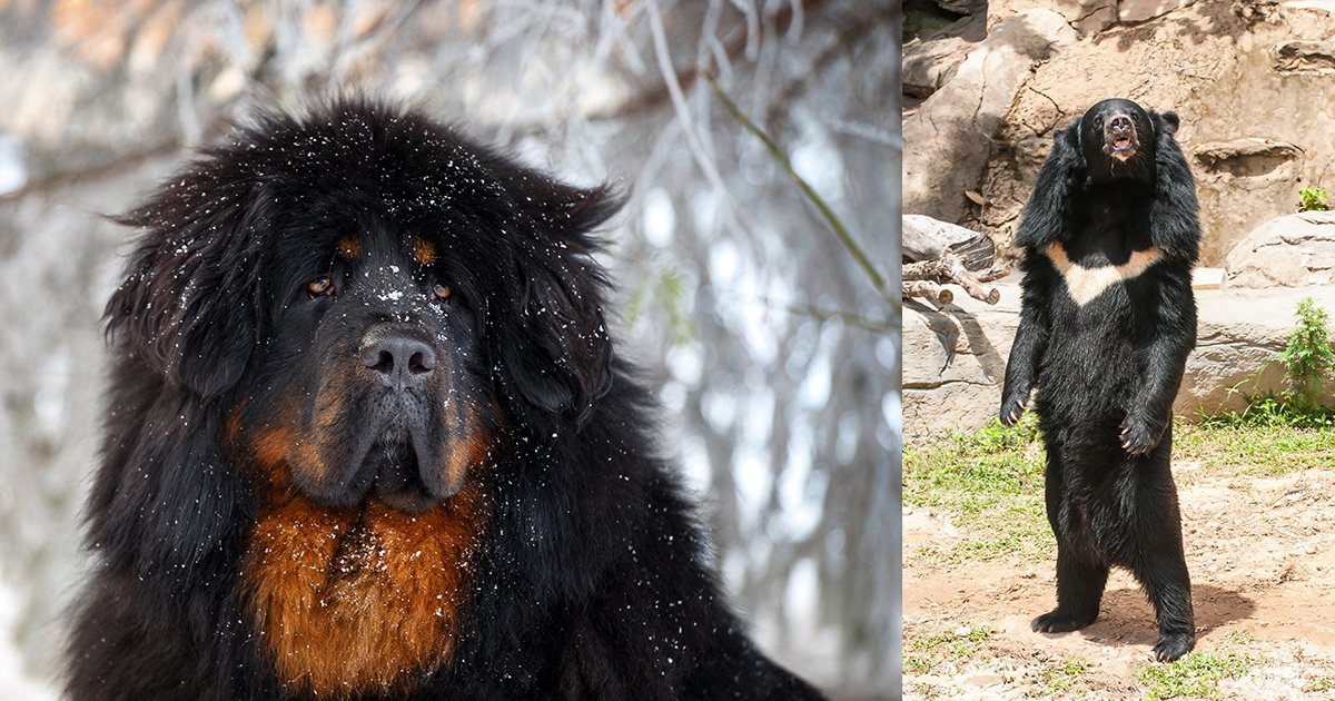 Family Mistakes Tibetan Mastiff Dog for Asiatic Black Bear