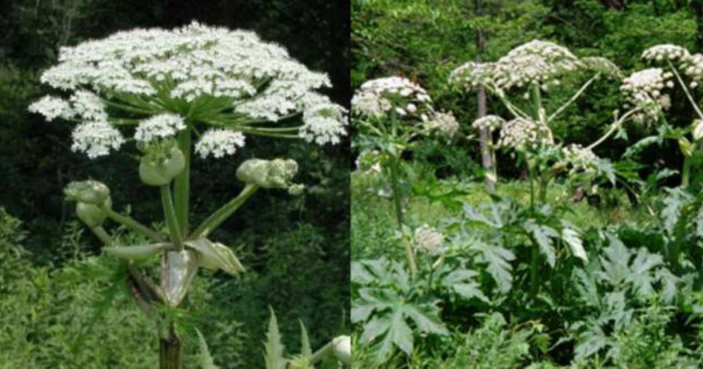highly toxic plant called Giant Hogweed warning 3