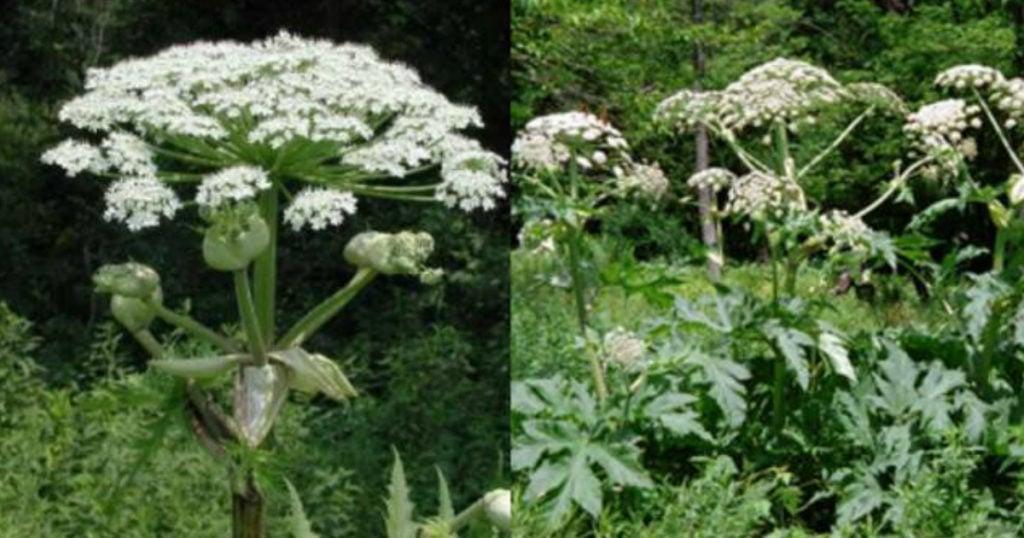 highly toxic plant called Giant Hogweed warning 3