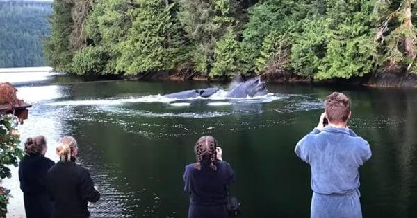 Humpback Whales Crash Breakfast At Lodge