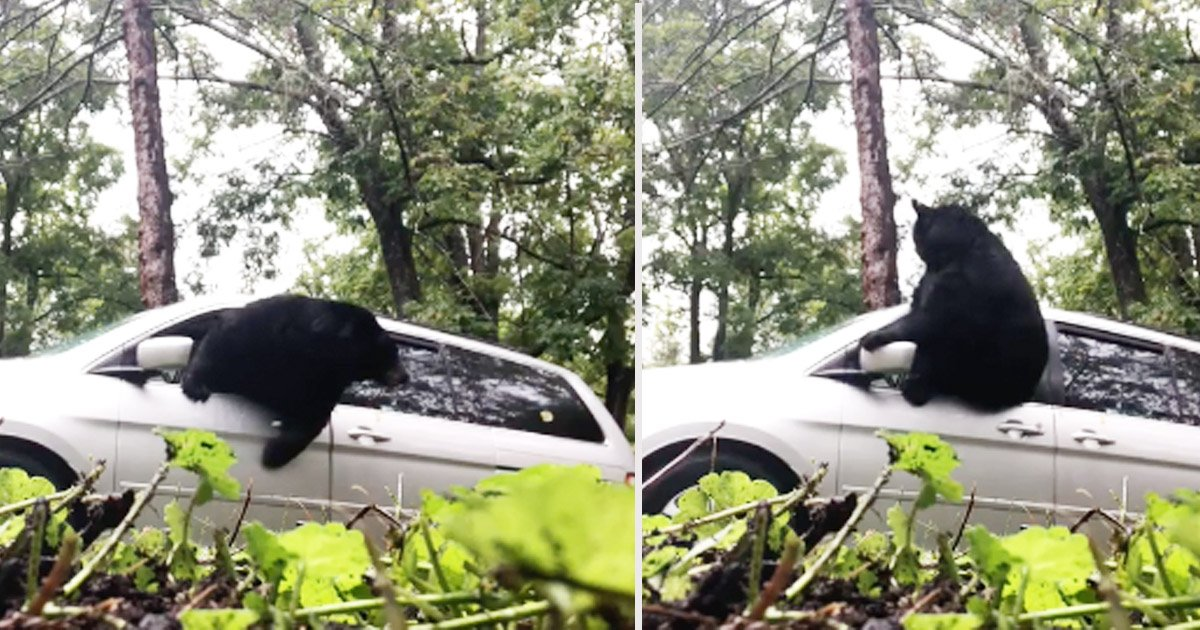 Black Bear Trapped In Minivan Makes Glass-Shattering Escape