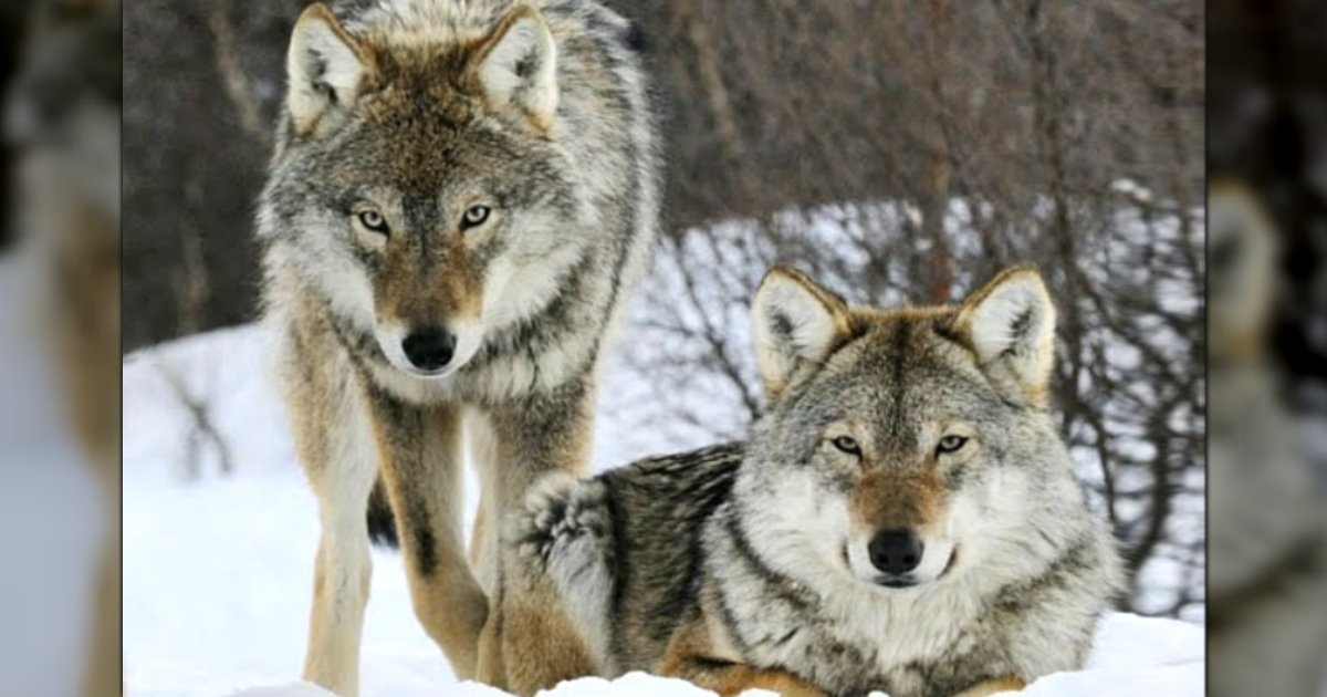wolves returned to yellowstone national park fb