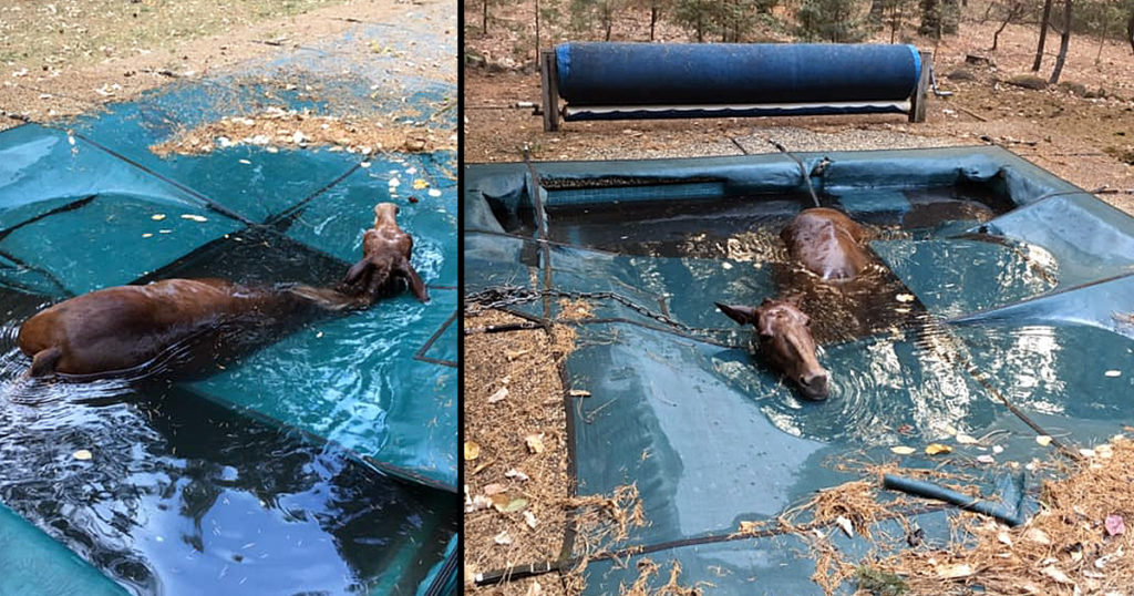 horse trapped in a pool after california wildfire