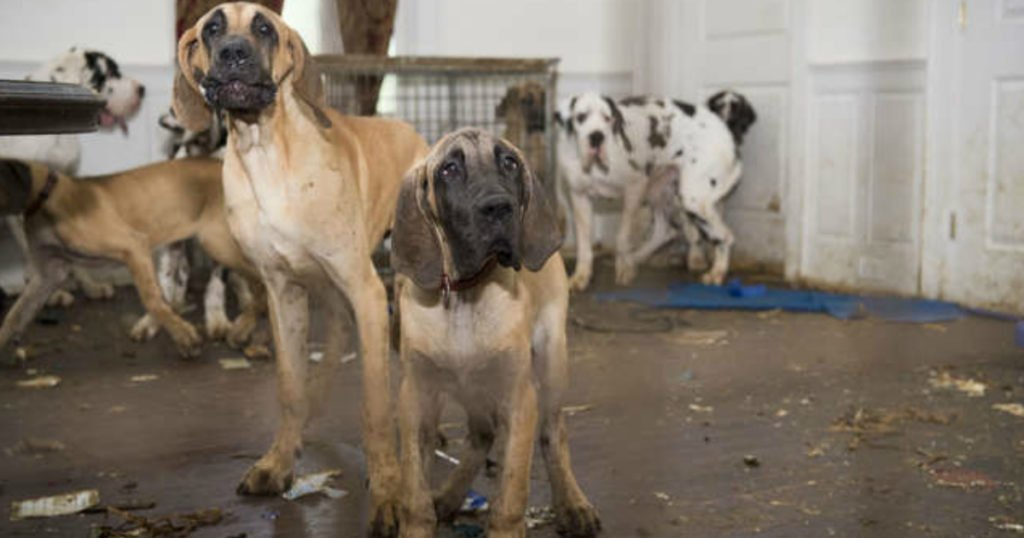84 Great Danes Rescued From Atrocious Puppy Mill Secretly Run Out Of Mansion