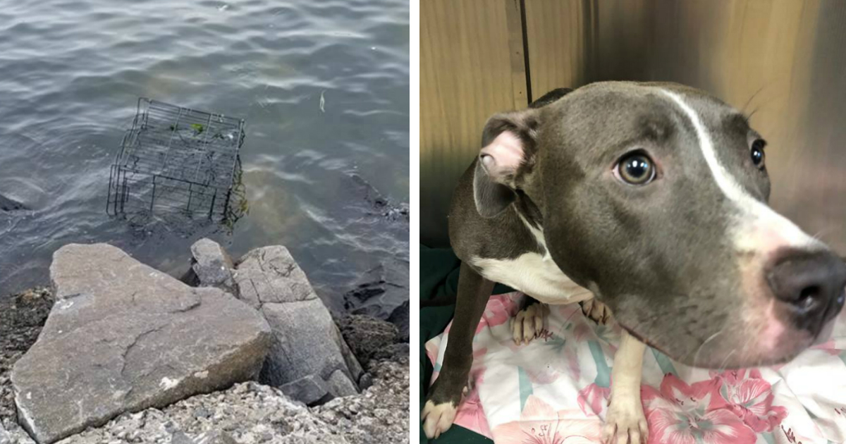caged pit bull left to drown rescued jennier vaz