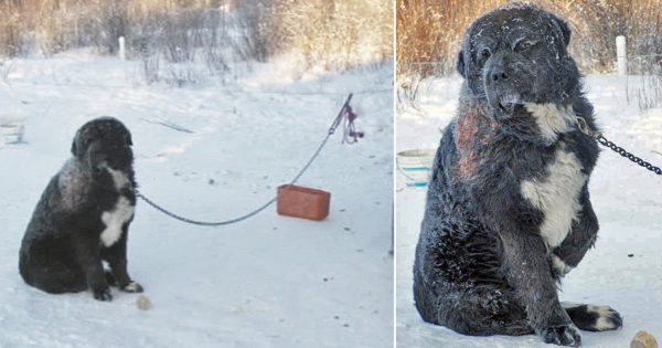 True Rescue Story Of Abused Dog Diesel Chained In Freezing Cold For 4 Years