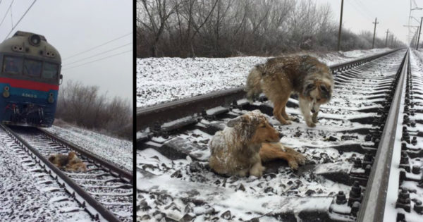 Truly Loyal Dog Spends 2 Days Protecting Injured Friend on Frozen Train Tracks