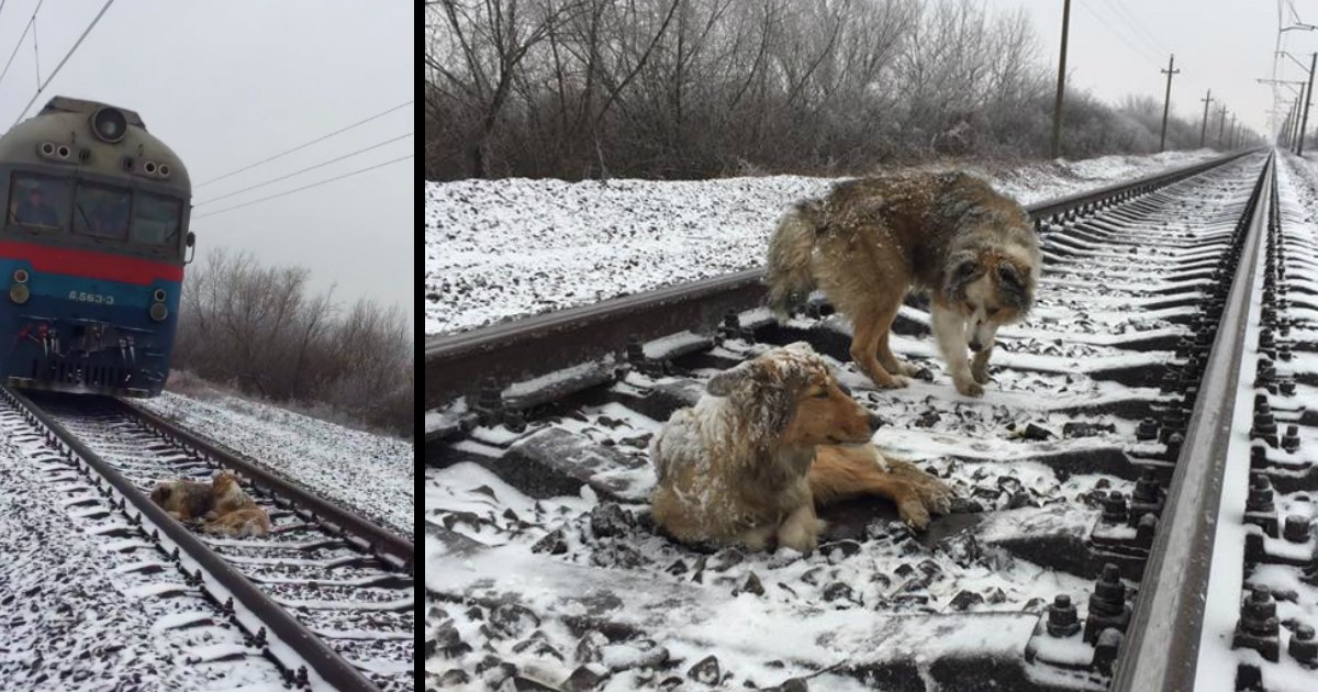 two dogs on train tracks russia