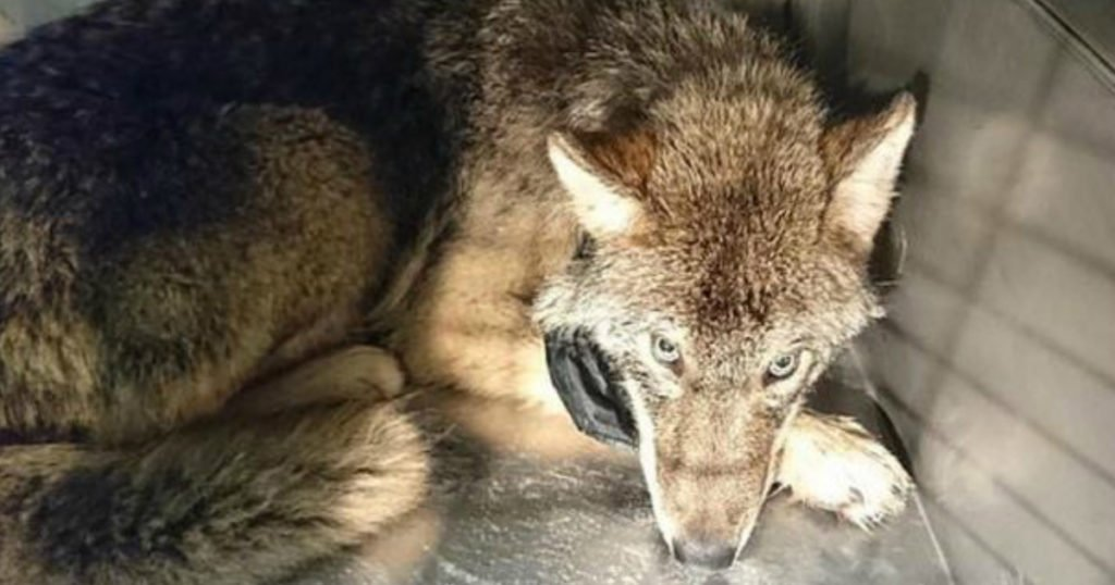 rescued wolf mistaken for a dog estonia frozen river rescue