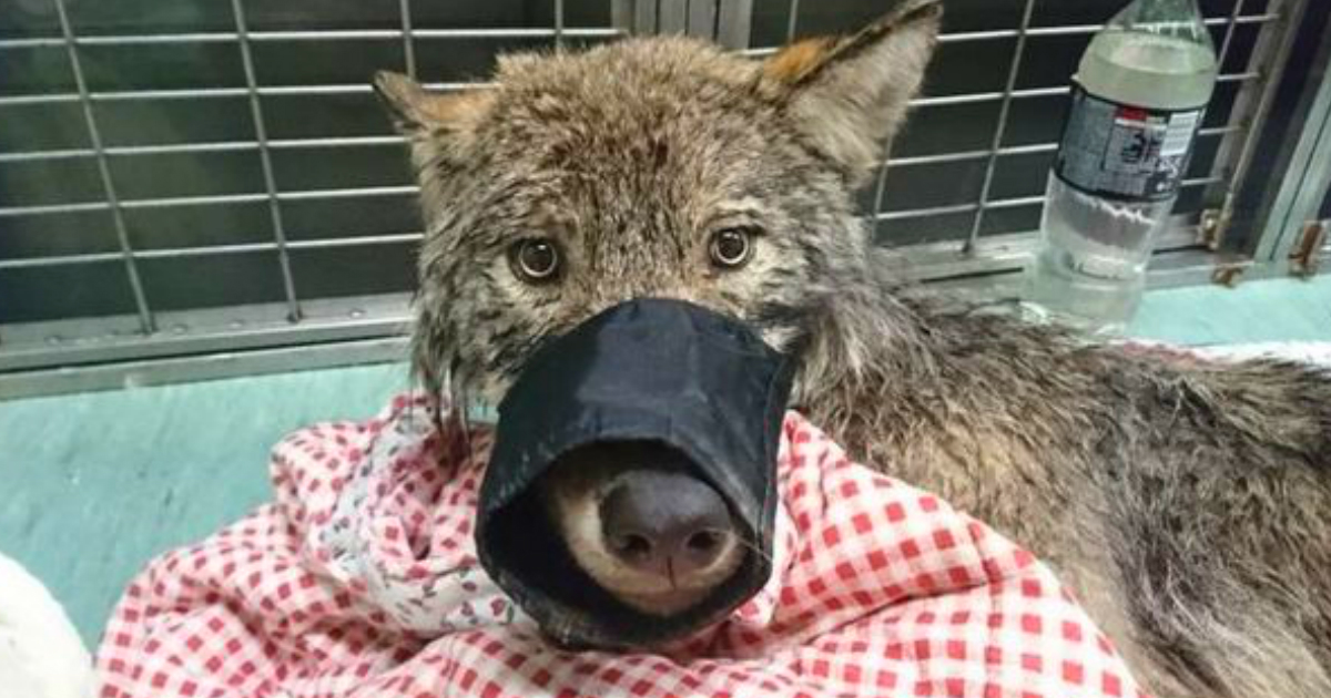 rescued wolf mistaken for dog estonia frozen river