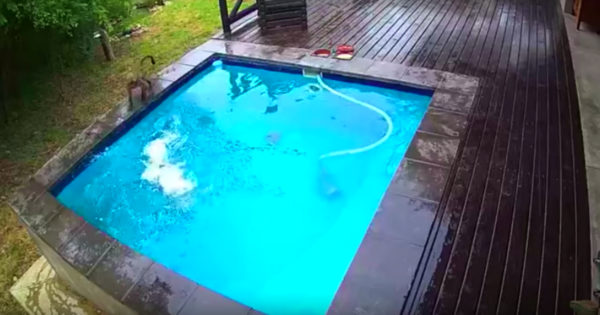 Baboons Swimming In Family's Pool Get Busted By Security Cameras