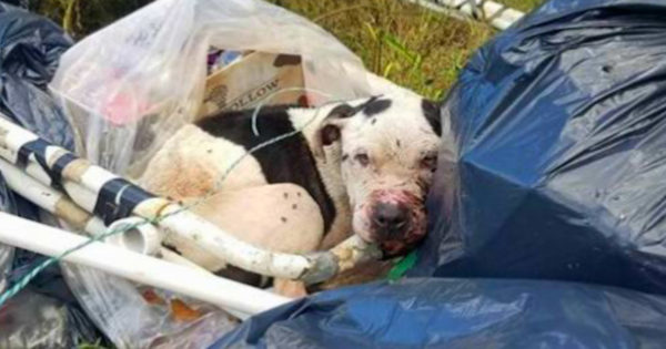 Charlie The Pit Bull Rescued From Trash And Over $10k Later, He's Living The Life He Deserves