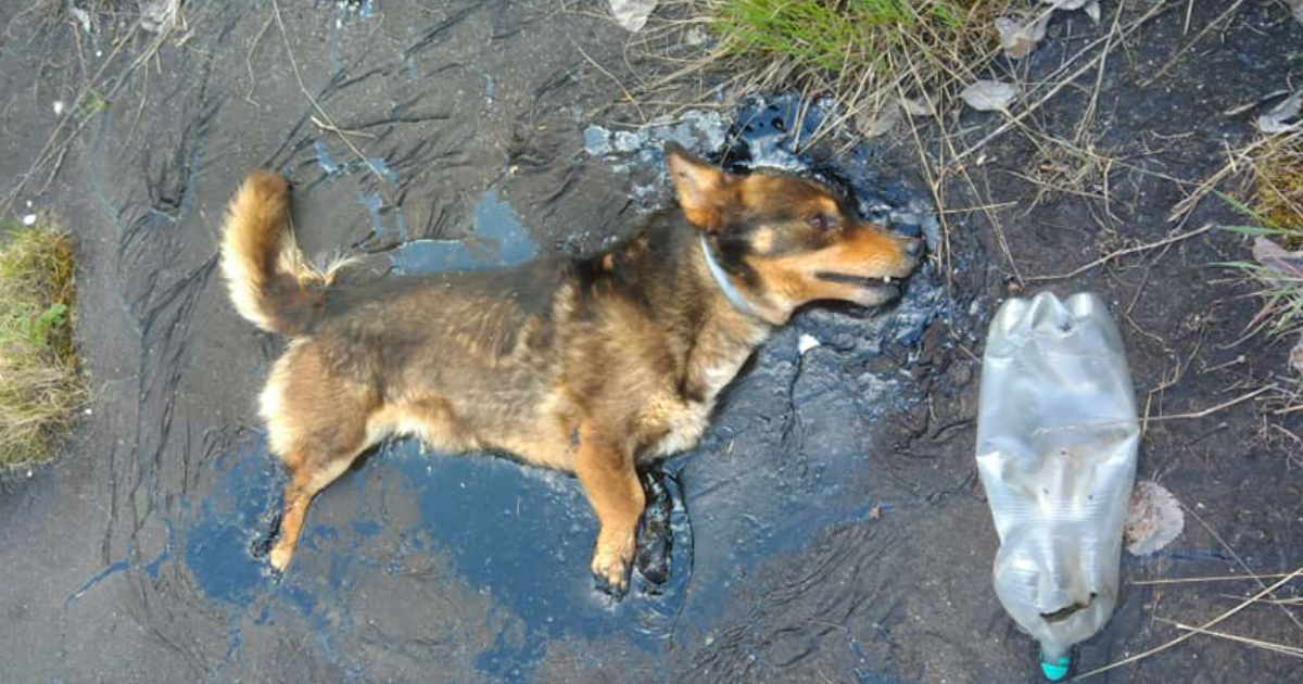 dog stuck in tar gets amazing rescue