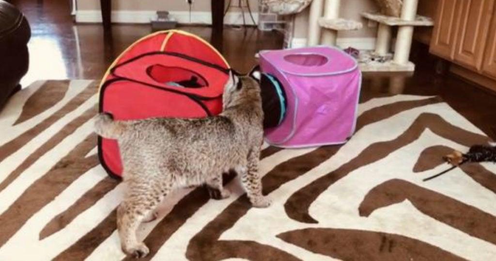 wild bobcat on craigslist mistake for lost cat