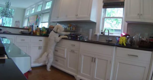 Sneaky Dog Stealing Cookies Lets 5-Year-Old Take The Blame Until Security Cams Uncover The Truth